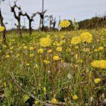 Domaine de Saumarez - Fleurs jaunes